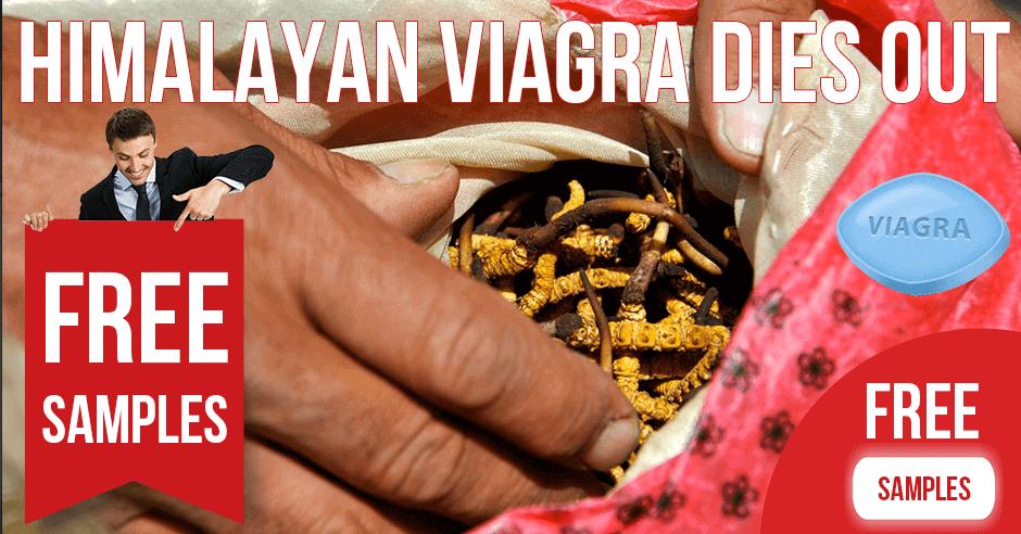 Himalayan Fungus (Himalayan Viagra) Dies Out